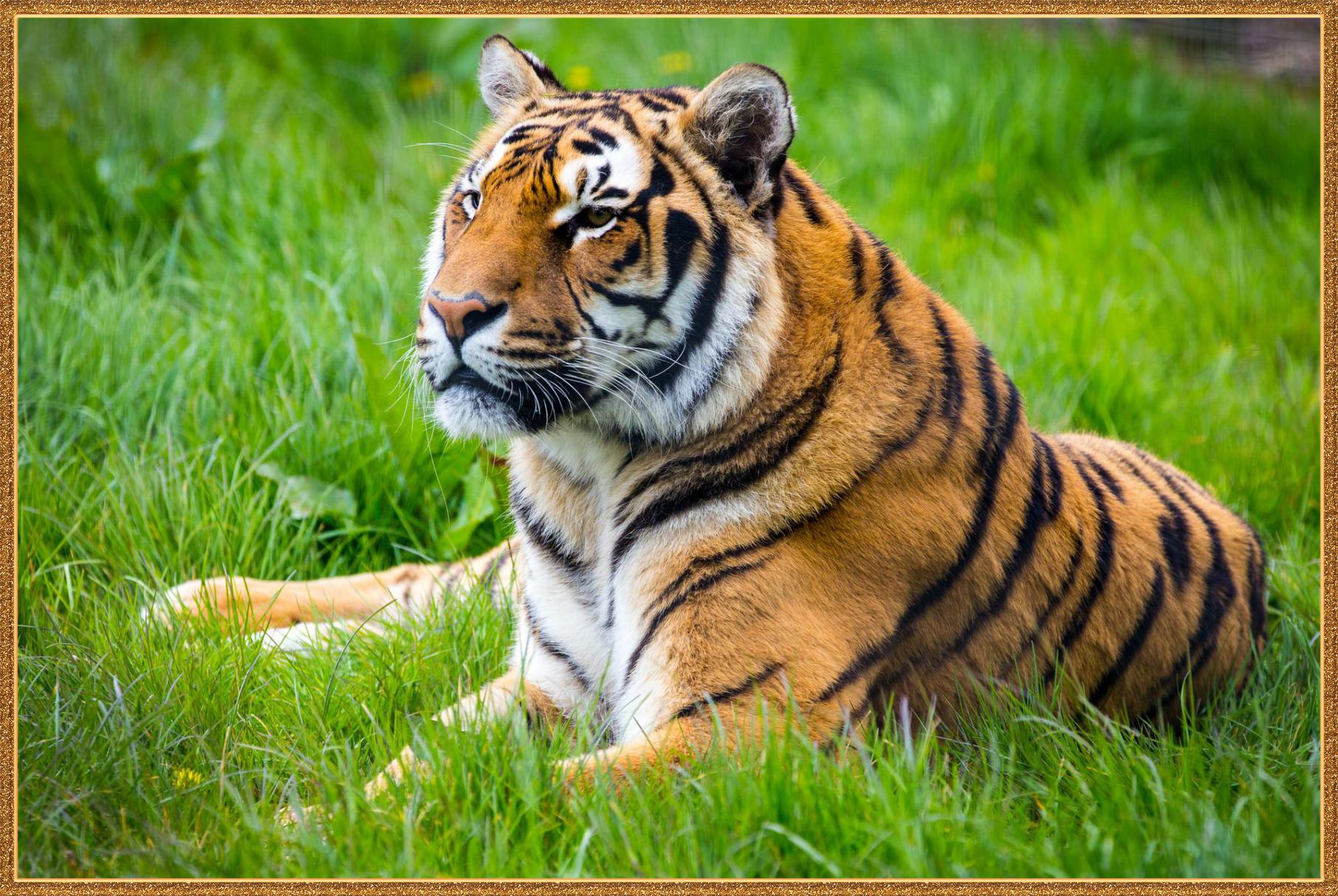 Картинка где тигр
