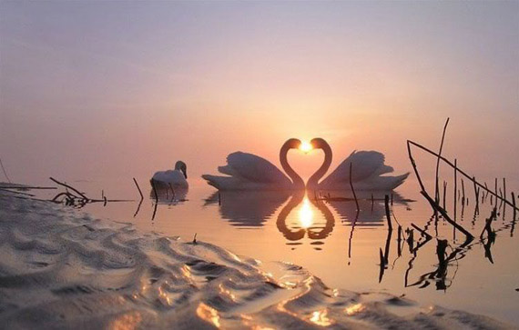 Swans in love sunset